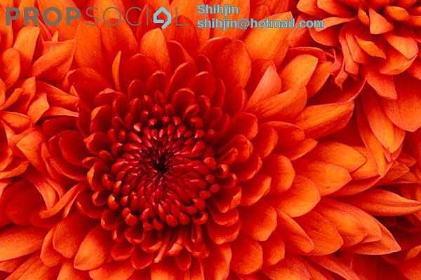 Chrysanthemum 8bn p8rrva9f1fhhkfvh small