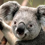 Koala small